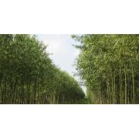 竹柳ballbet体育苗