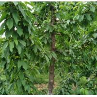 现卖现挖品种齐全福星樱桃树