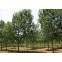 求购4公分白蜡,法桐,榆树各一万棵