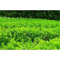 求购3公分五角枫、复叶槭、杜仲、皂角。