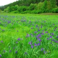 求购紫叶矮樱 白皮松 新疆杨小苗 小叶女贞毛球 金叶复叶槭 香花槐等