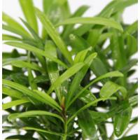 造景植物 小叶罗汉松 diy礼品造景植物小盆栽