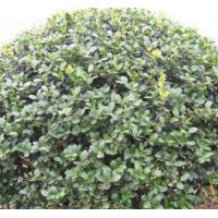 四季常青篱笆植物大叶黄杨球冬青小床规格齐全价