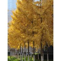 白果树银杏树庭院绿化树木银杏树